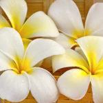 バリ島で見掛ける花「フランジパニ」の雑学